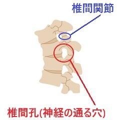 椎間孔 椎間関節 脊柱 脊髄 神経 背骨 カイロプラクティック