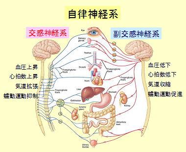 自律神経図