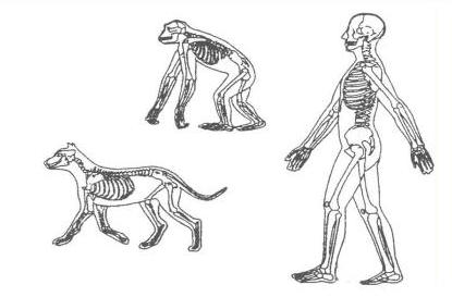 哺乳類の骨格