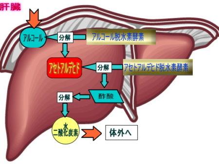 肝臓機能図