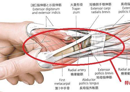 腱鞘解剖図